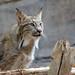 DSC_6615 Lynx du Canada