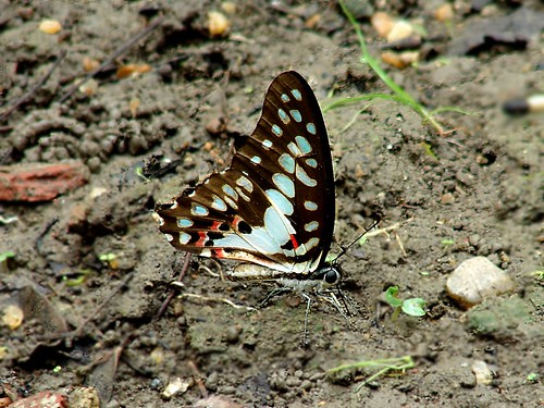 butterfly mudpuddling sonydsch2 commonjay bagnanwbindia