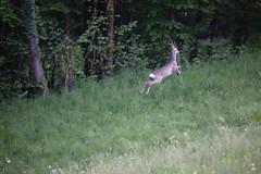 Deer runaway