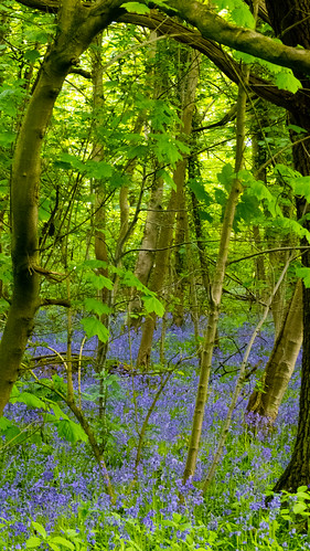 Pendeford Mill Open Day, May 2015, Bluebells