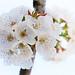 Cherry blossom by VillaRhapsody