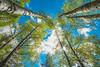 Birch | Wide Angle #121/365