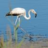 Flamenco común (Phoenicopterus roseus) / Greater flamingo