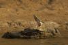 Mugger at Chambal
