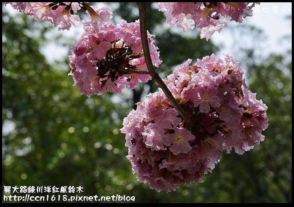 興大路綠川洋紅風鈴木DSC_2271