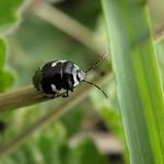 foltos földipoloska - Tritomegas bicolor
