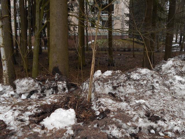 Metsikkötaimikko auraustuhottuna Espoon Karakalliossa 26.2.2015