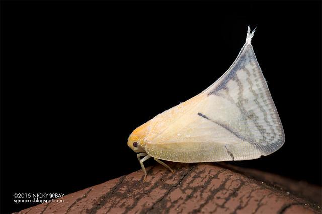 Flatid planthopper (Flatidae) - DSC_5344