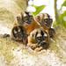 Pygmy Marmoset (Owl Monkey) Callithrix pygmaea_4398 by Alice & Seig