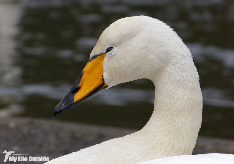P1110421 - Whooper Swan, Helston