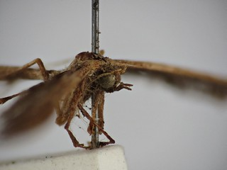 Tetraschalis arachnodes