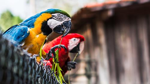 Beautiful Macaws...FREEDOM...