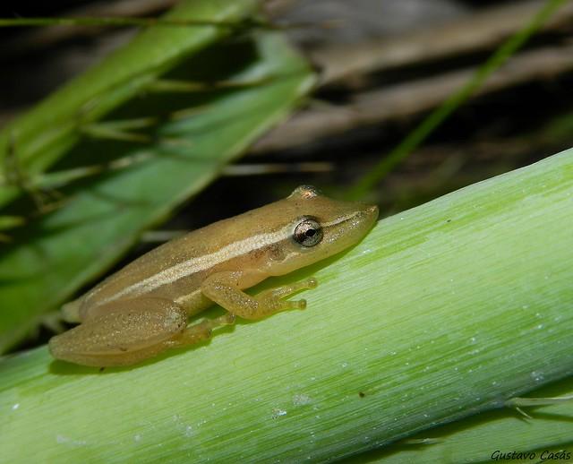 Ranita Hocicuda (Scinax squalirostris)