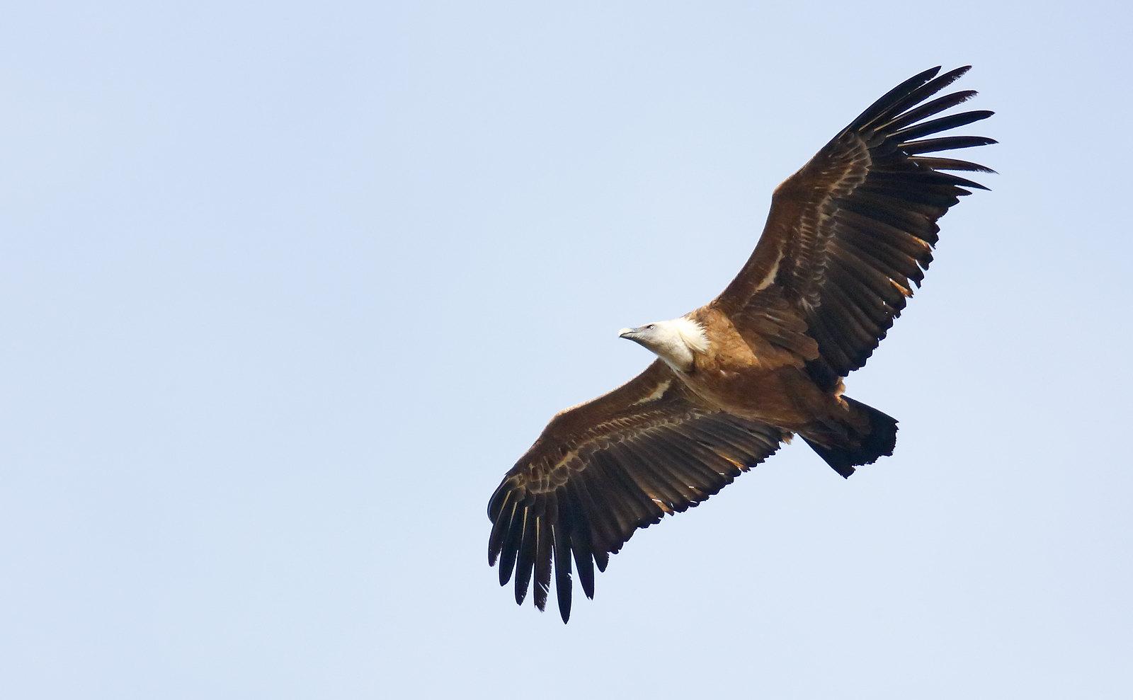 Griffon Vulture
