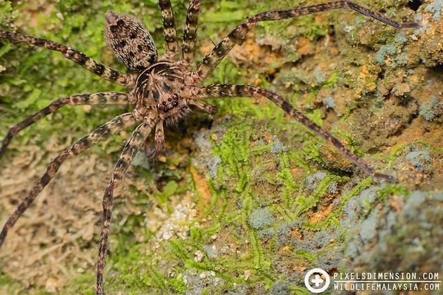 Huntsman spider- Heteropoda sp.