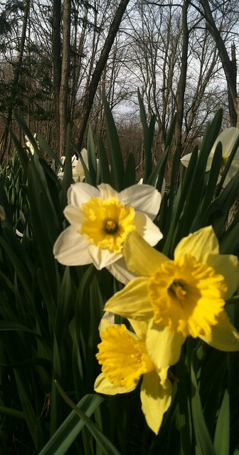 Daffodils with Trees