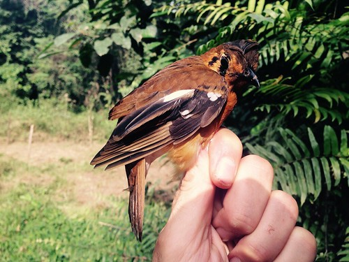 Geokichla camaronensis (Black-eared Ground-Thrush)