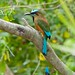 Turquoise-browed Motmot / eumomota superciliosa by Birds of Mayakoba