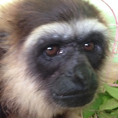 Gibbon detained as pet for 3 years rescued today with the help of Kalaweit supporters in Kapuas, Central Kalimantan
