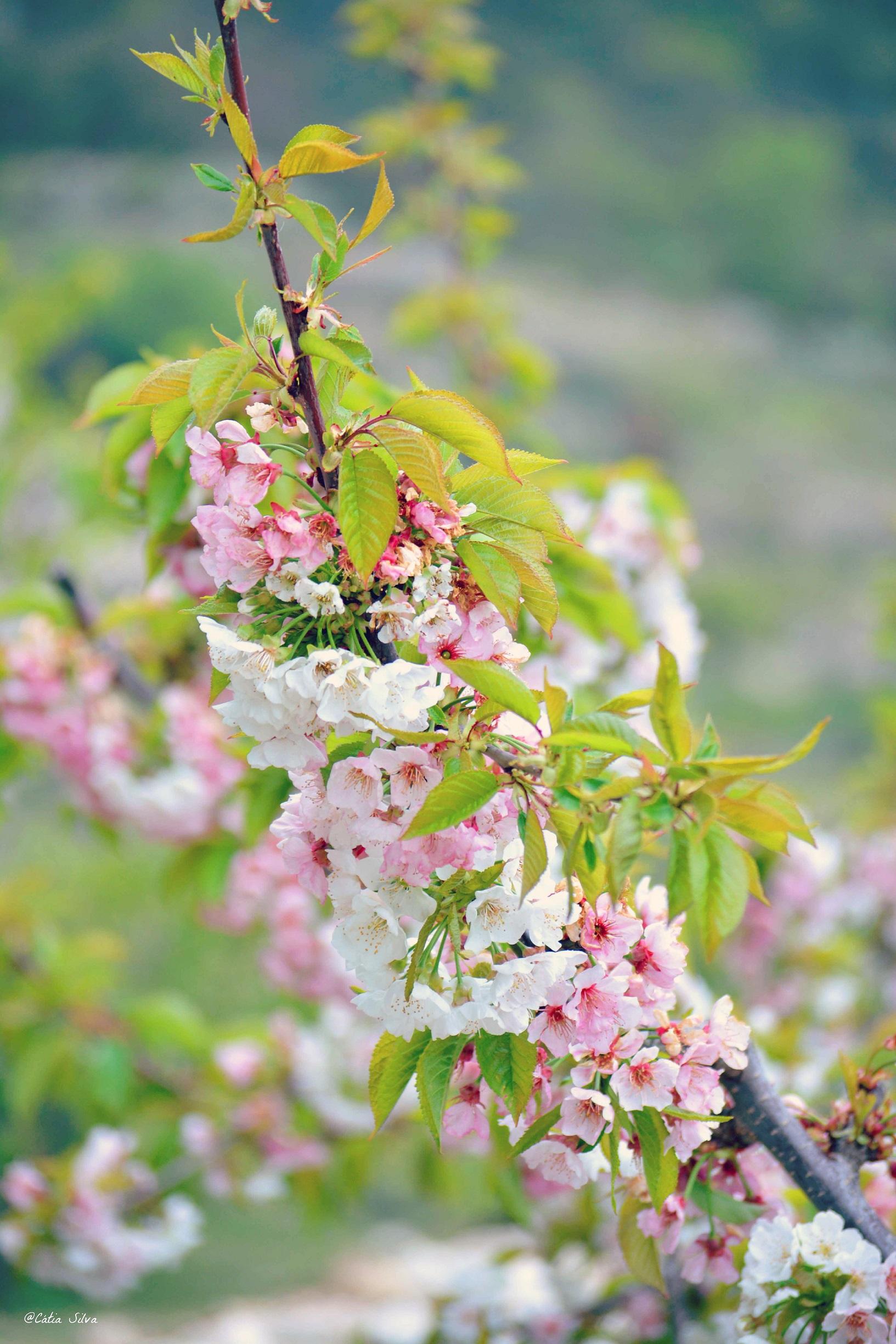 Valle de la Gallinera_Cerezos en Flor (6)