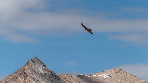 bif beardedvulture bird ladakh lammergeier mountains ossifrage vulture