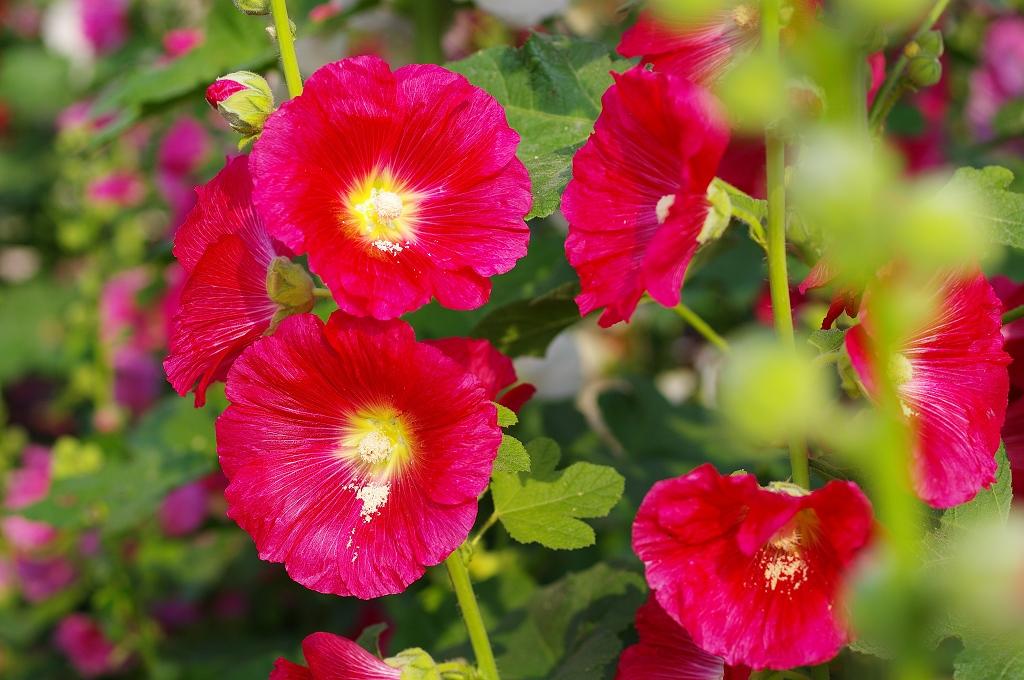 彰化員林蜀葵一丈紅
