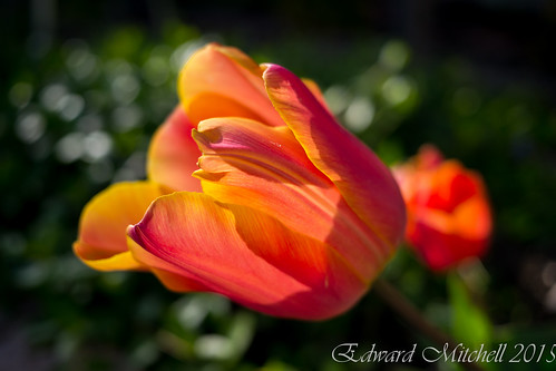 Backlit Orange Tulip Flower