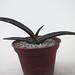 Aloe versicolor by juan_y_ana