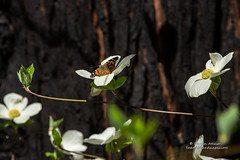 King of the Dogwoods - Yosemite National Park