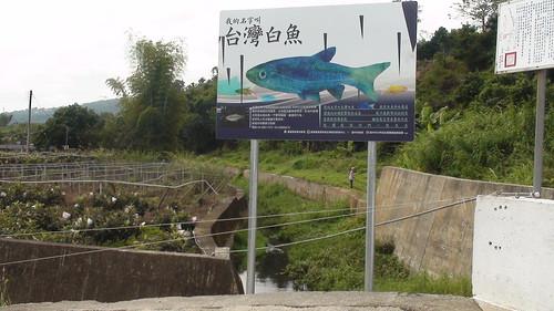 2011年設置的食水嵙溪畔的白魚宣導看板,2011.12.15,大甲溪生態協會提供