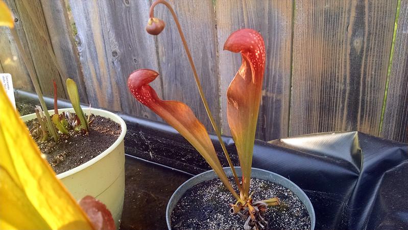 Sarracenia ×formosa.