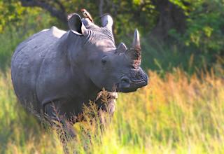 Rhino Hitchhiker