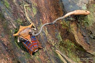 Giant shield bug (Pygoplatys sp.) with cordyceps fungus - DSC_3336