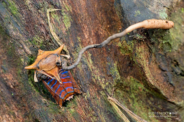 Giant shield bug (Tessaratomidae) with cordyceps fungus -  DSC_3336