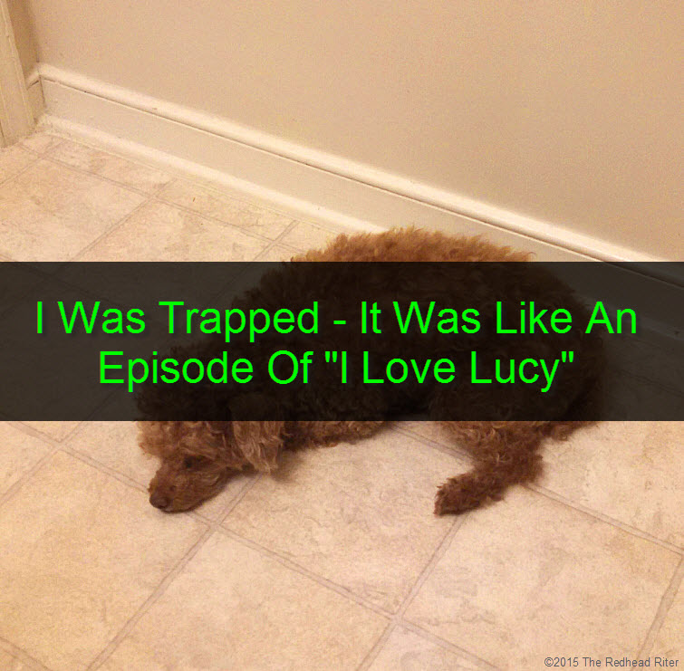 red toy poodle laying down on floor bored tw