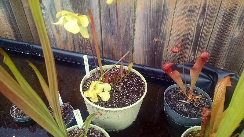 Broken Sarracenia alata flower.