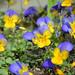 Viola tricolor by Kira Pichano