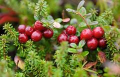 shrub, berry, plant, produce, fruit, food, empetrum, lingonberry,