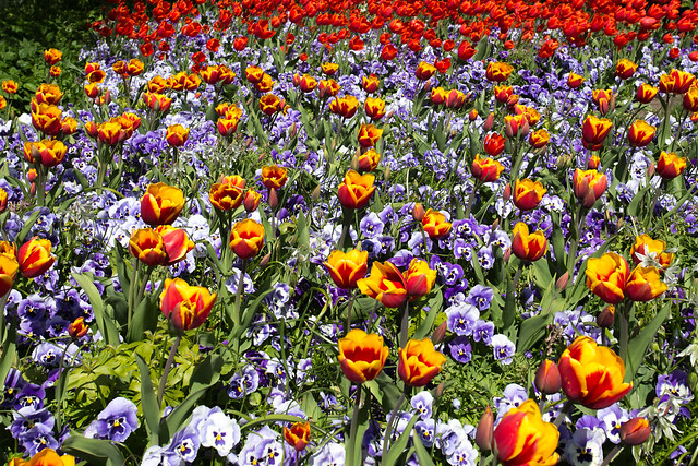 Tulips in Ørstedsparken