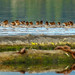 Merganser families, taken in Cowichan Bay from the Minnow, by island deborah- nature website deborahfreeman.ca-