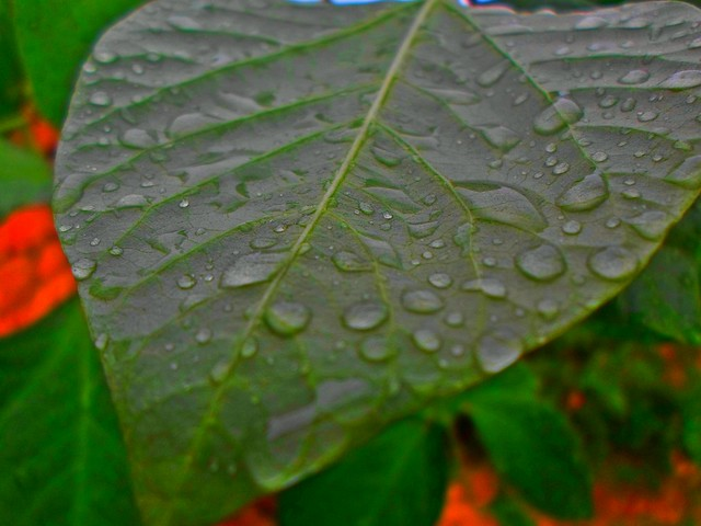 Today after rain, Dews on Bean's Leaf...