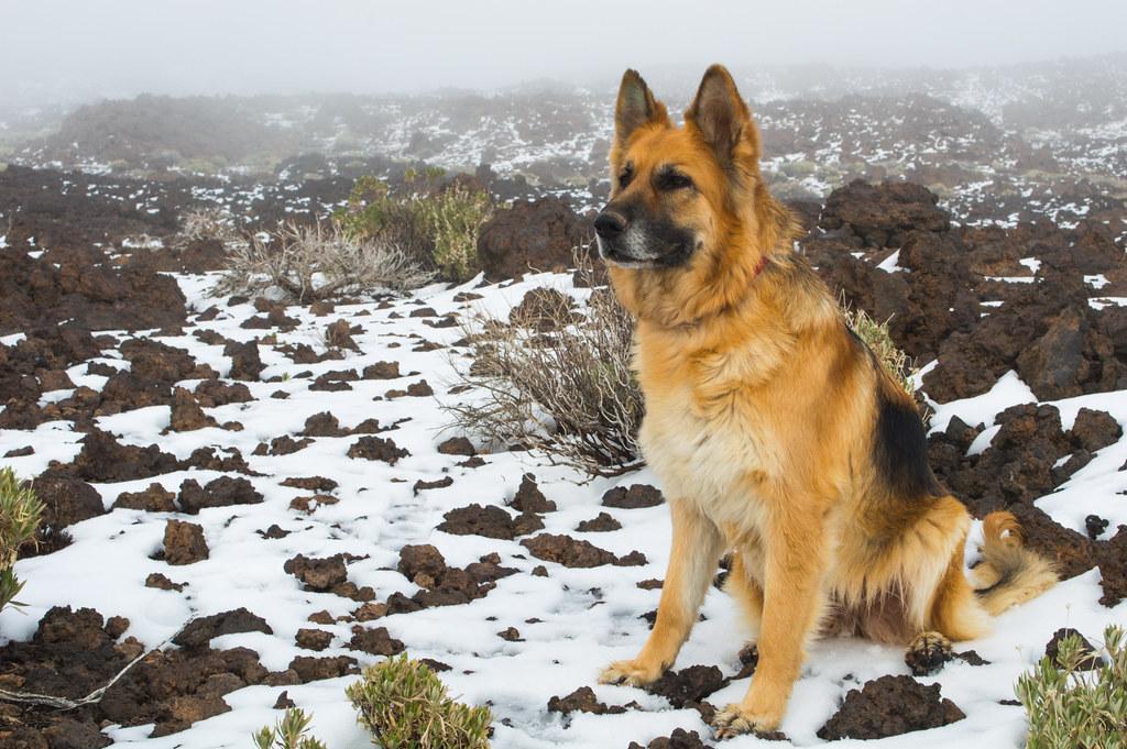 German Shepherd CALA in Teide National Park - CALA en la niebla en el Parque nacional del Teide. Tenerife
