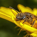 Solitary Bee on a Dandelion I by Dalantech