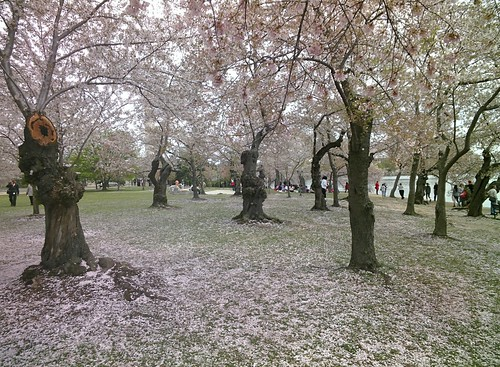 Cherry Blossoms #throughglass