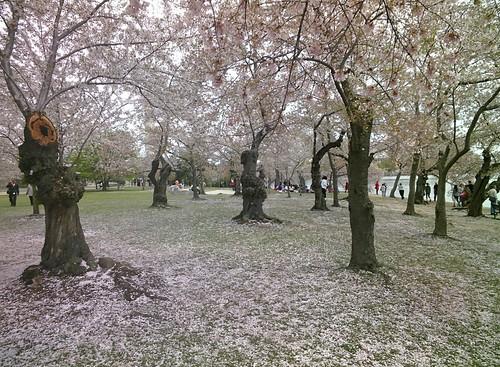 Cherry Blossoms #throughglass