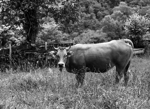 Una vaca el el Angliru