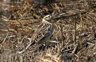Smith's Longspur at the Burn, IMG_1299