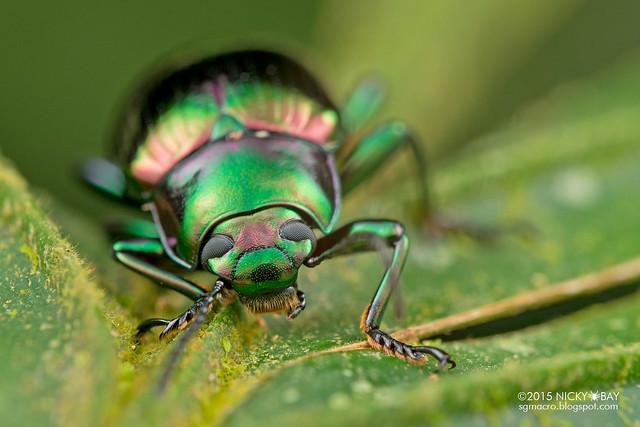 Emerald darkling beetle (Tenebrionidae) - DSC_5080