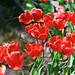 Tulips by Jennifer 真泥佛