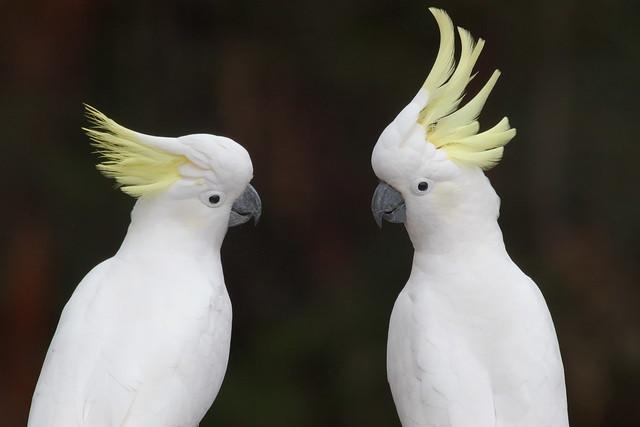 Cockatoo conversation